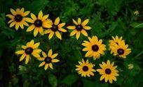 七彩缤纷的黄色松果菊