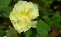 盛开的黄色木槿花