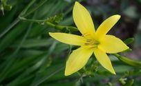 一朵盛开的黄色黄花菜