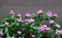 漂亮的粉色卡拉花