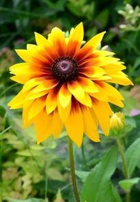 一朵鲜艳的黄色菊花