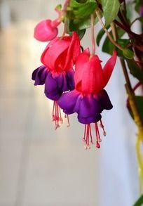 两朵盛开的粉紫色的吊钟