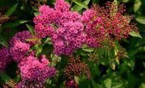 七彩缤纷的紫色绣线菊