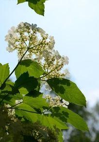 枝头上的绿叶和琼花