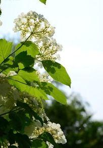 枝头上的琼花