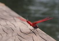 湖边木上红蜻蜓