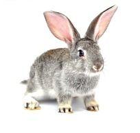 神采奕奕的灰兔