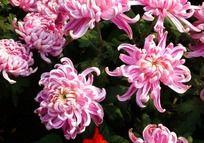 淡雅粉嫩菊花