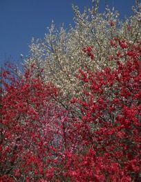 开满枝头的樱花林