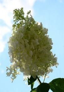 白色下盛开的蓝天丁香花倒挂金钟花的钩法图片