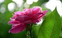 盛开的粉色月季和绿叶