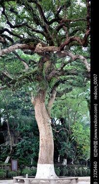 高大的樟树