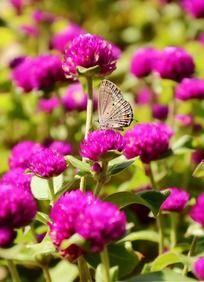 千日红上采蜜的蝴蝶