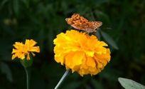 黄色孔雀草上的蝴蝶