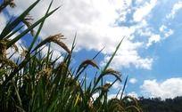成熟的晚稻