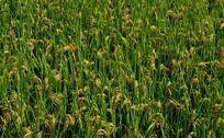 丰收的麦田