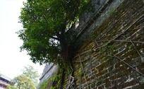 古城墙沿墙而生的榕树