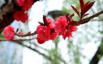 红色的桃花