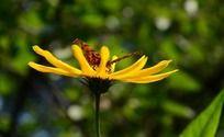 黄色的松果菊上的蝴蝶