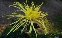 黄色礼花菊