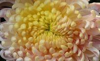 晶莹欲滴的菊花花蕊