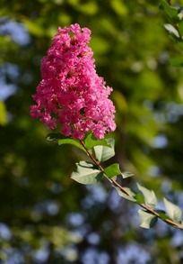盛开的红色丁香花