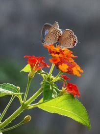 五色花和一对蝴蝶