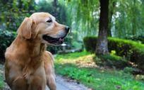 公园里的导盲犬