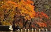蒲石河红枫树