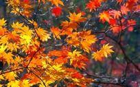 秋天枫叶枫枝