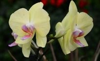 淡雅的黄色蝴蝶兰