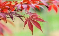 火红的枫叶