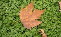 秋风落叶 黄叶