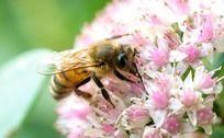 采蜜蜜蜂特写