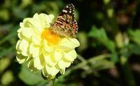 大丽花上的蝴蝶