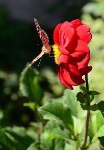 红色大丽花上的蝴蝶