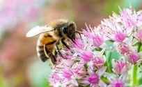 花朵上采蜜的蜜蜂