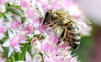 花中采蜜蜜蜂