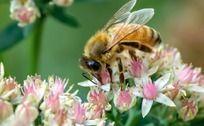 正在采蜜的蜜蜂