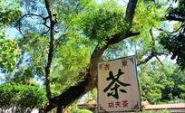 挂在树枝上的茶招牌