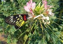 粉色花上停留的彩蝶