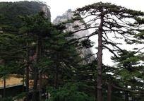 黄山东海景区松树