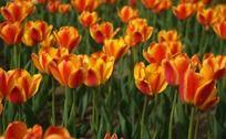 金色郁金香花丛