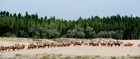 沙漠骆驼队伍