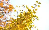 金黄银杏枝叶
