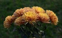 花团锦簇的金盏花