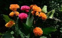 五颜六色的康乃馨