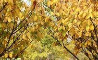 金黄灿烂的秋叶