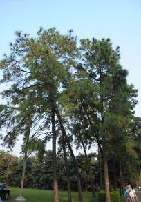 校园高大的杉树