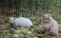3只在竹林中休息中的猫咪